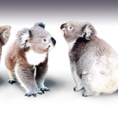 koalas-intro